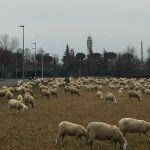 Pecore e campanile 618